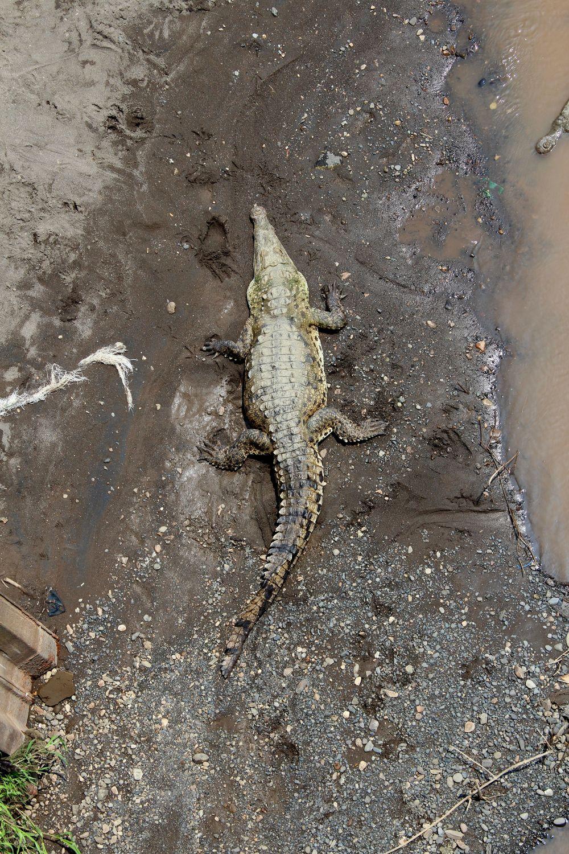 Crocodile dans le Rio Grande de Tarcoles, Puntarenas, Costa Rica