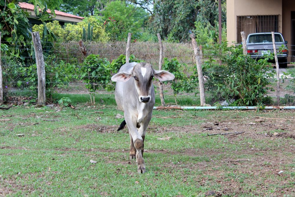 Macho la vache domestique de Rotcy et Emma, San José, Costa Rica