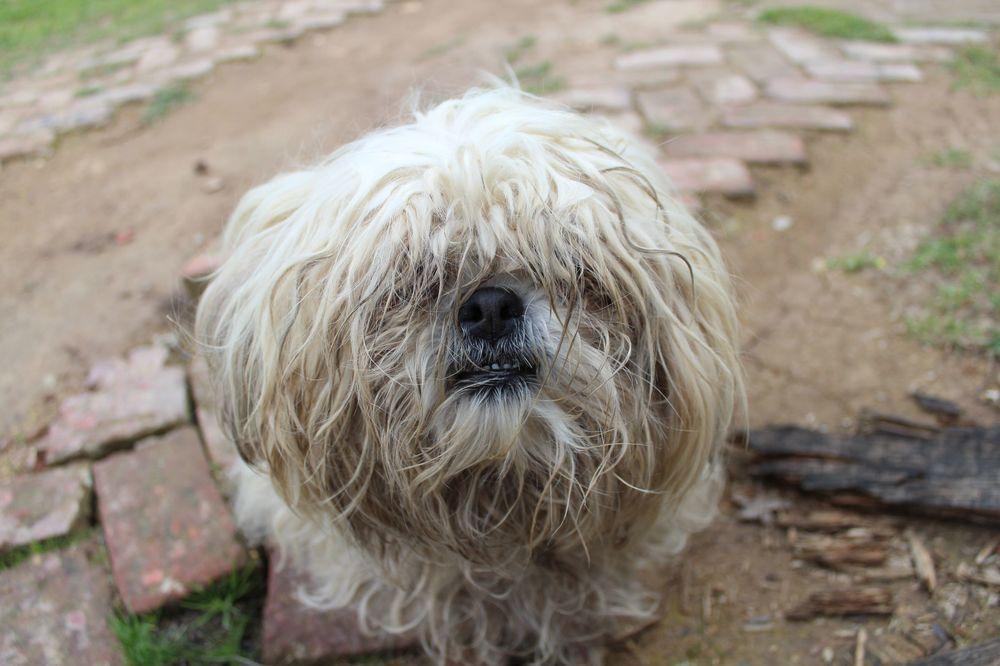Le chien de garde chez notre famille à Tunja, Boyacà, Colombie