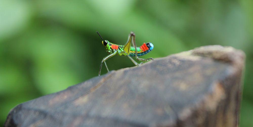 Criquet aux mille couleurs, Jardin, Antioquia, Colombie
