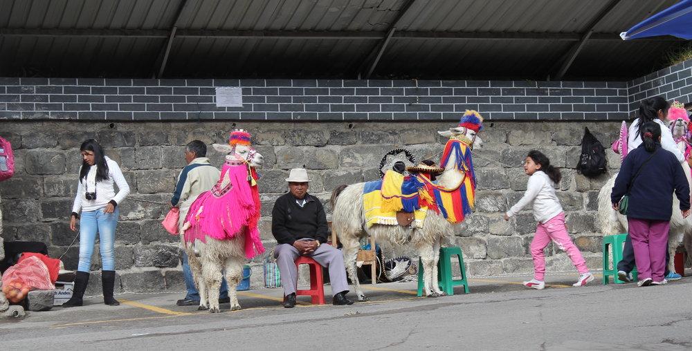 Lamas dans les rues d' Ipiales, Narino, Colombie