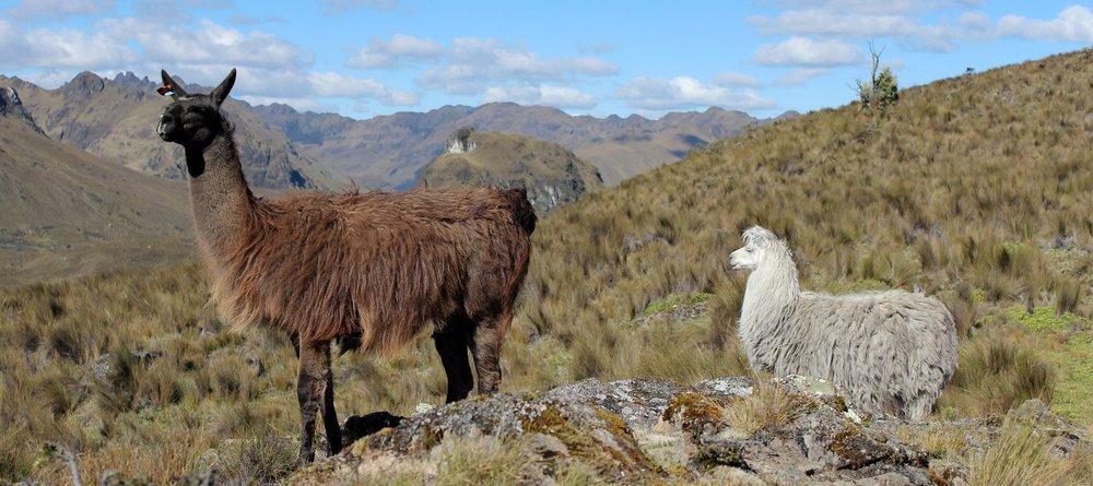 Lamas dans le Parc national d'El Cajas, Azuay, Equateur