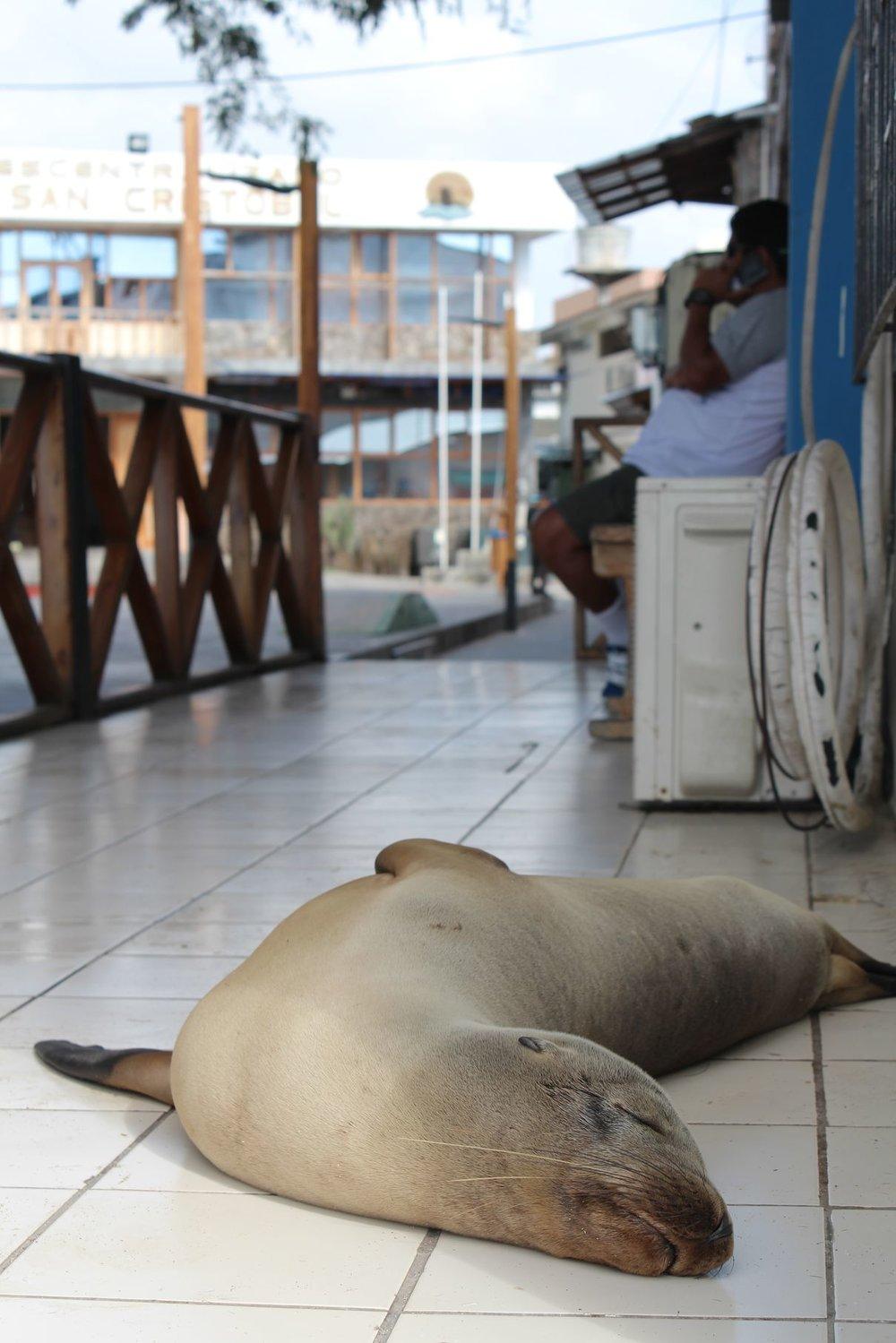 Les lions de mer sont roi àPuerto Baquerizo Moreno, Ile de San Cristóbal, Ecuador