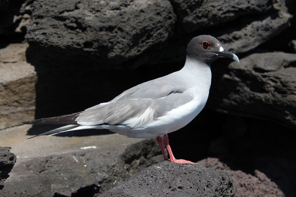 Mouette à queue d'aronde, Isla San Cristobal