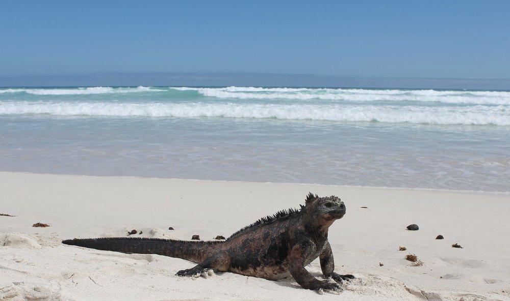 Iguane Marin, Bahia Tortuga, Isla Santa Cruz, Ecuador