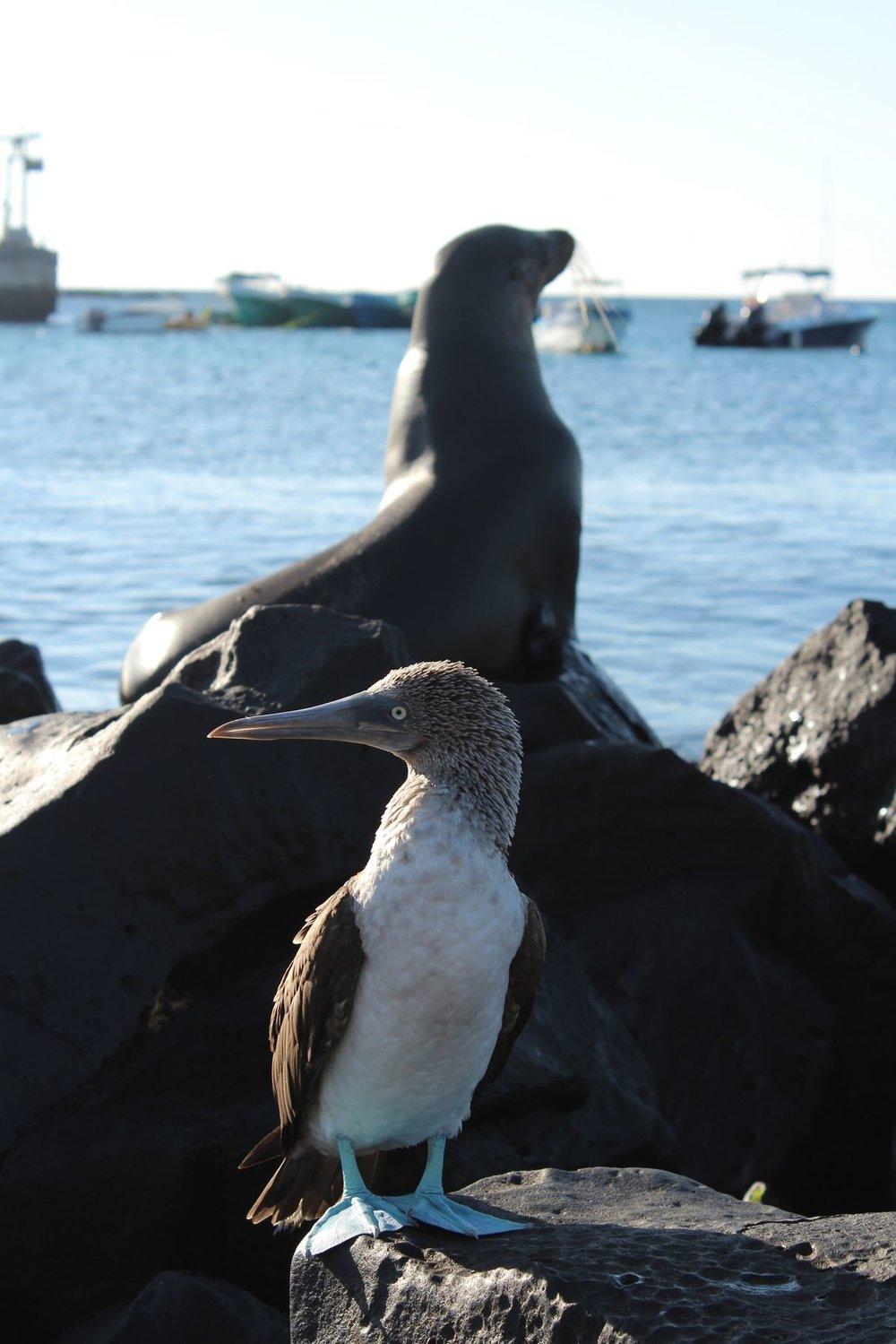 Fou à Pattes Bleues, Puerto Baquerizo Moreno, Ile de San Cristóbal, Ecuador
