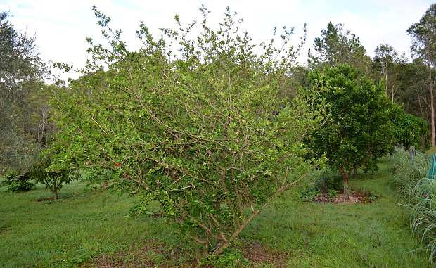 Barbados_Cherry__Acerola__shrub_full.jpg