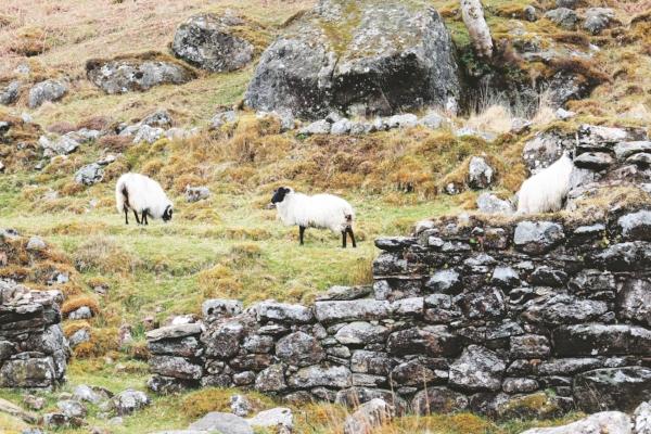 Imbloc-Ewes