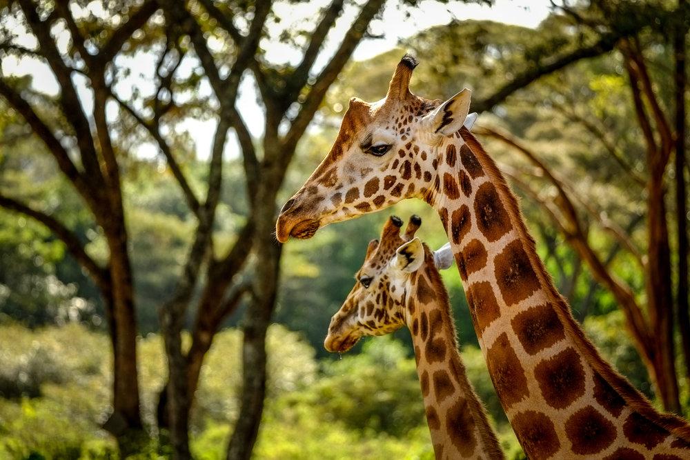 Endangered Rothschild Giraffes in Nairobi, Kenya
