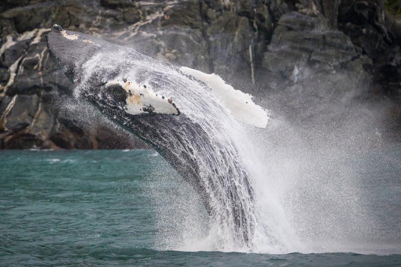 SBN_ABC_RSAY17_Breaching Humpback Whale_Inian Islands_Alaska_1.jpg