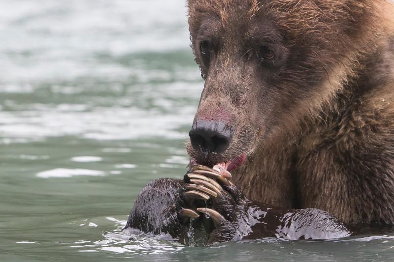 SBN_ABC_RSAY17_Brown Bear_Chilkoot River (near Haines)_Alaska_5.jpg