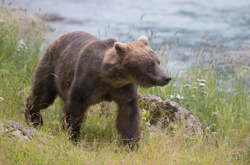 SBN_ABC_RSAY17_Brown Bear_Chilkoot River (near Haines)_Alaska_8.jpg