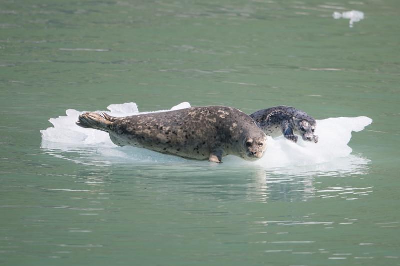 SBN_ABC_RSAY17_Harbor Seals_Endicott Arm_Alaska_1.jpg