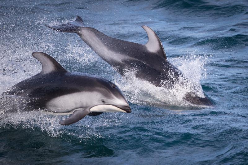 SBN_ABC_RSAY17_Pacific White_sided Dolphin_Canada_1.jpg