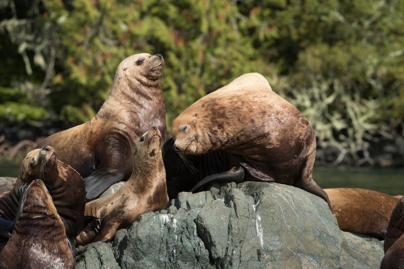 SBN_ABC_RSAY17_Steller Sea Lions_Alert Bay_Canada_1.jpg