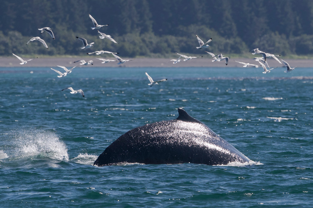 SBN_ABC_RSAY17_Humpback Whale_Icy Strait_Alaska.jpg