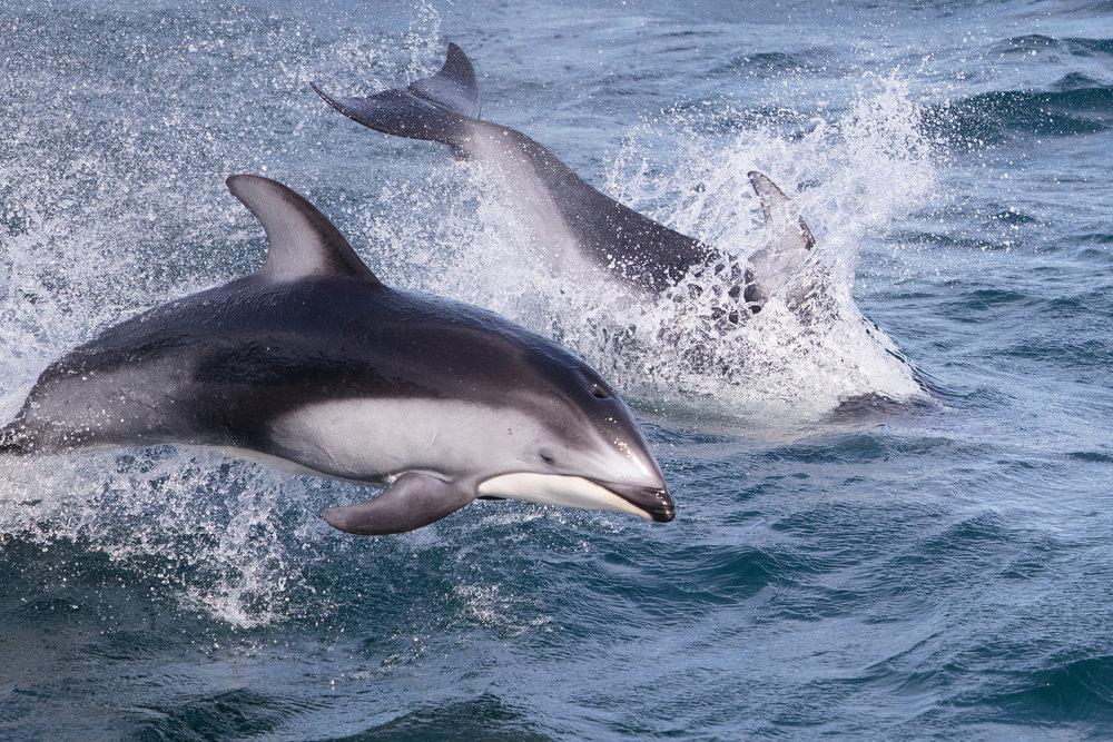 SBN_ABC_RSAY17_Pacific White_sided Dolphin_Canada_2.jpg