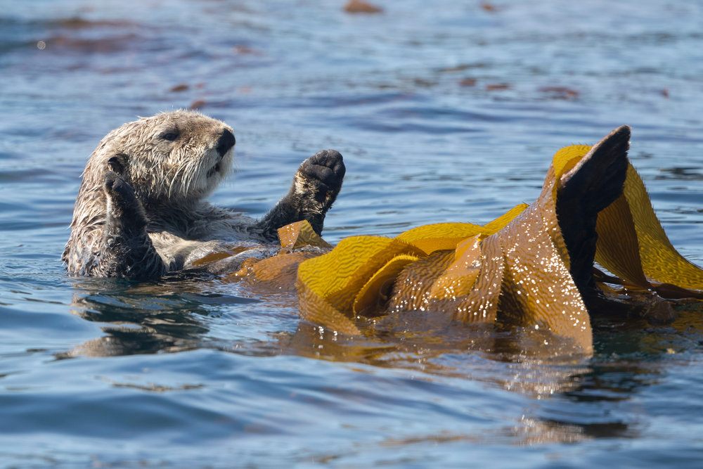 SBN_ABC_RSAY17_Sea Otters_Sitka_Alaska_2.jpg