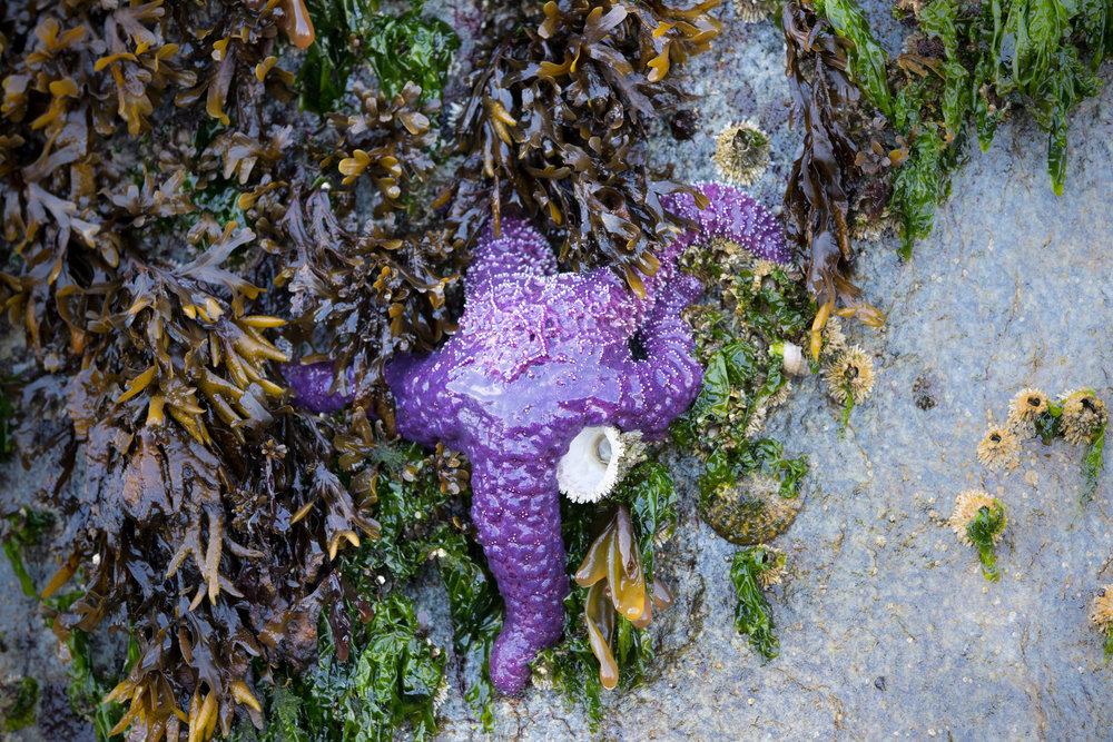 SBN_ABC_RSAY17_Purple Sea Star_Klemtu_Canada.jpg