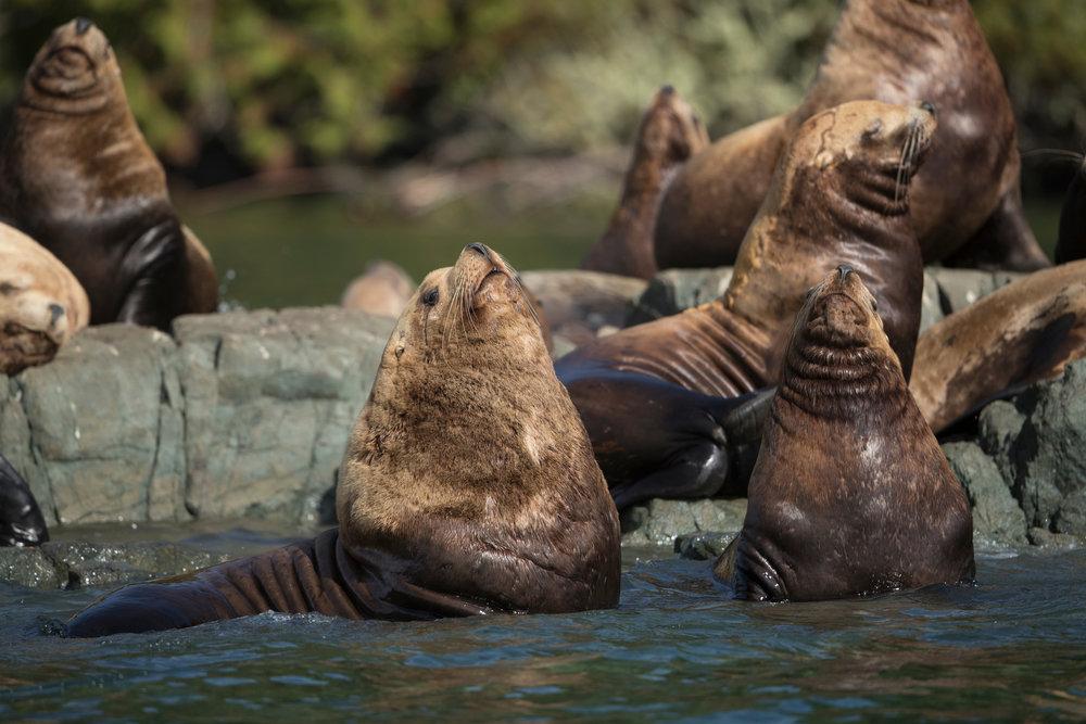 SBN_ABC_RSAY17_Steller Sea Lions_Alert Bay_Canada_3.jpg