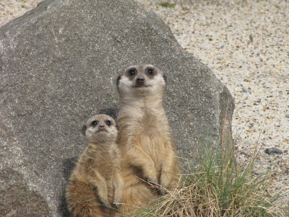 Okay--this isn't a wolf, but I did see meerkats in the movie! (though probably not Scottish-born as these are...)