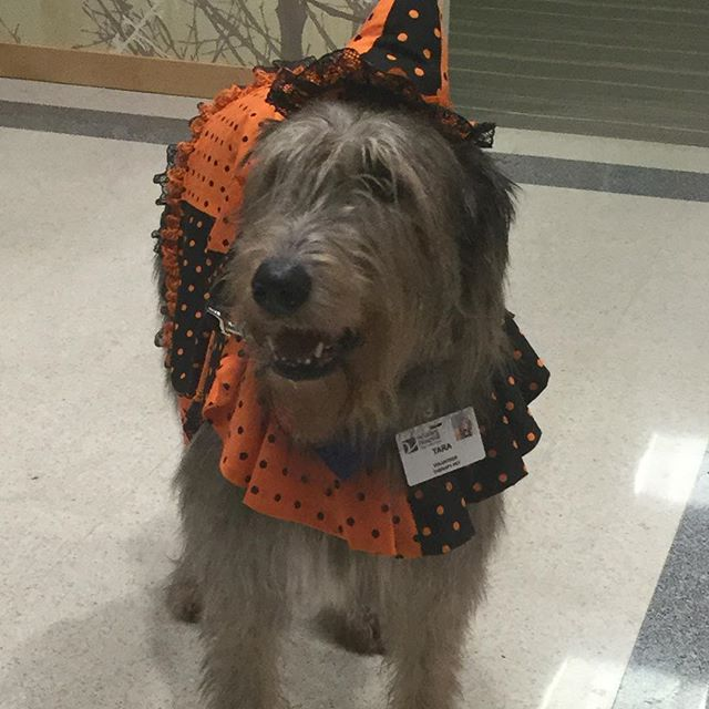 Met an Irish wolfhound named Tara Colleen yesterday. She is all set for the holiday! #therapydog #valleyhospital #readyforhalloween