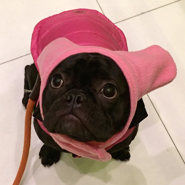 March_18__2015_at_0516PM_-_How_do_you_like_my_new__bathat__snorfindustries__stella__frenchies__frenchbulldog.jpg