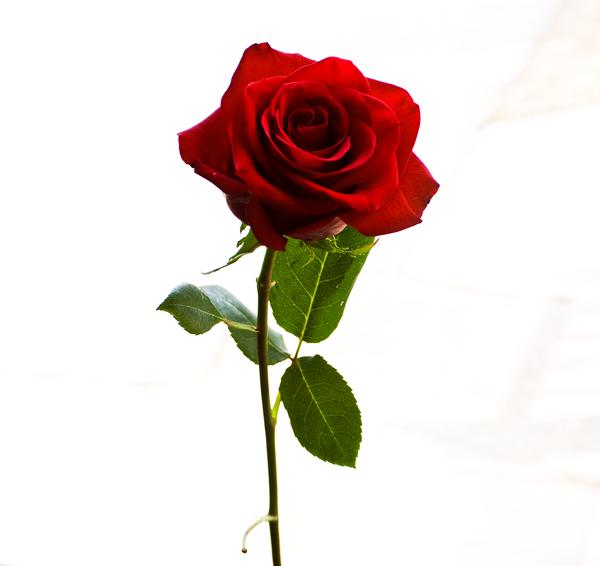 den yndigste rose homoseksuel dating