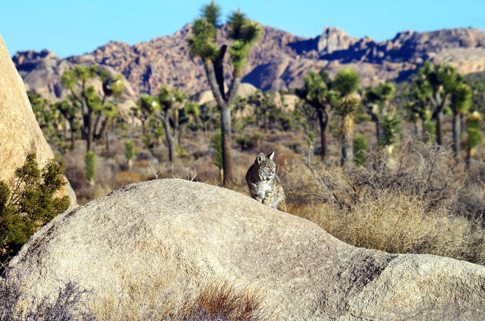 Bobcat in the sun, Joshua Tree National Park, California