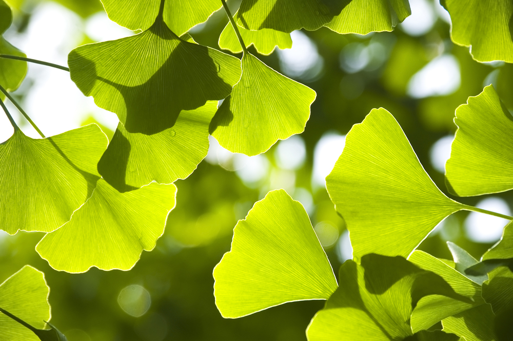 What you need to know about ginkgo biloba