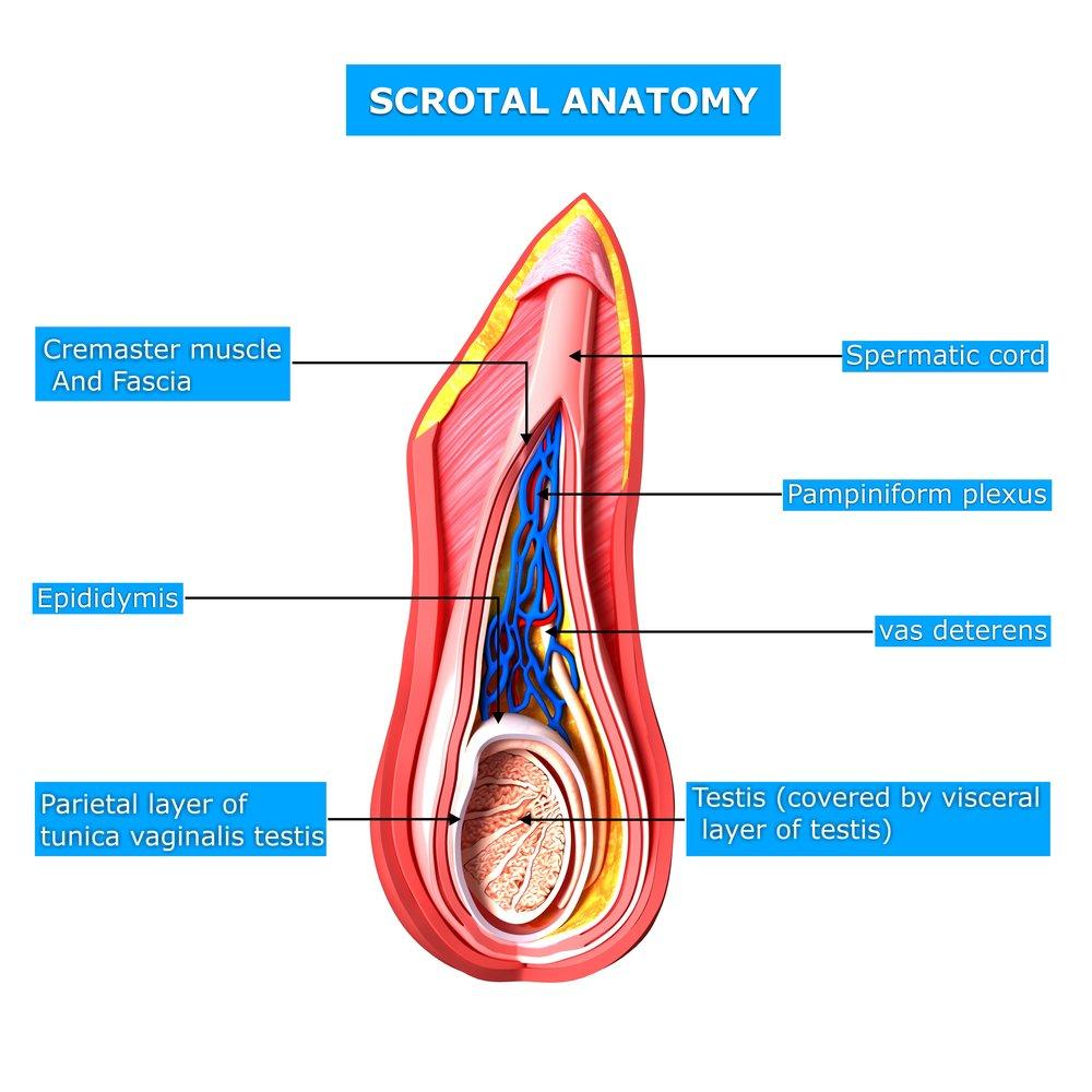 Diagram of a spermatocele automotive block diagram david samadi md blog prostate health prostate cancer generic rh samadimd com diagram spermatogenesis dan penjelasan ccuart Choice Image