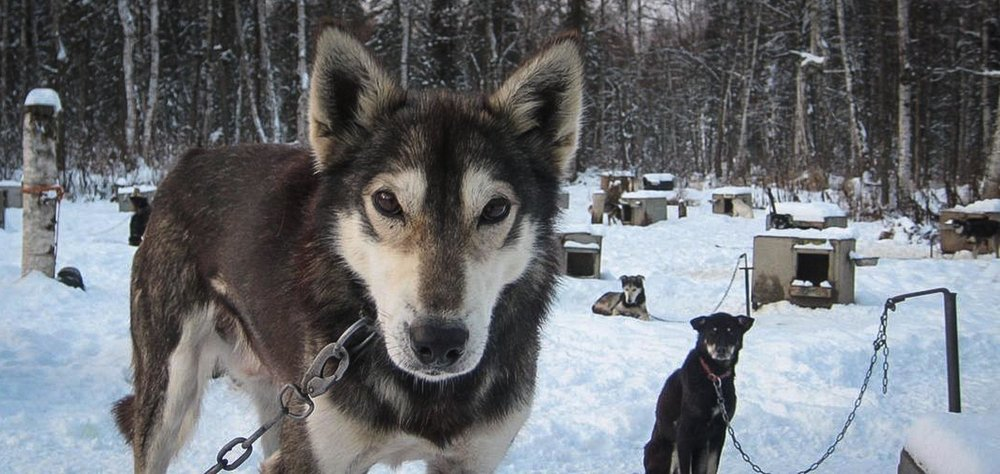 A Sled Dog named IPA stands in his dog yard in Talkeetna, Alaska. (Photo by Paula Davis)