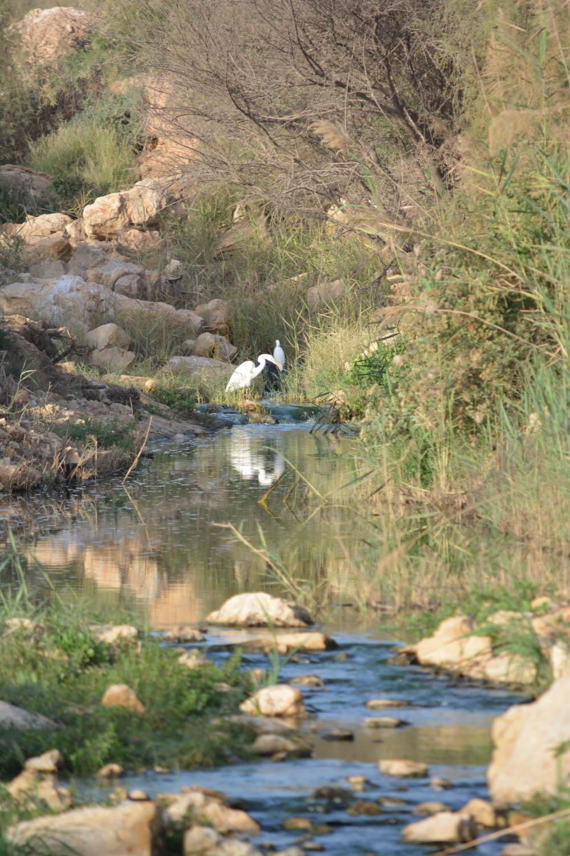 Intermediate Egret. Identification by tour guide.