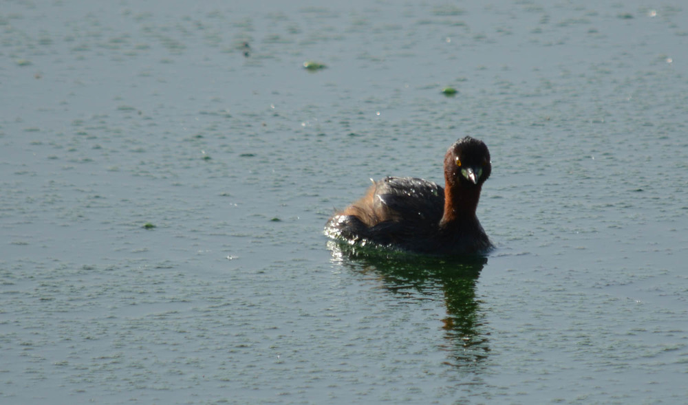 Little Grebe. (Identified by my best efforts with the use of Common Birds In Oman by Hanne & Jens Eriksen. Please forgive any errors.)