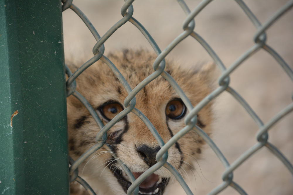 Rescued cheetah