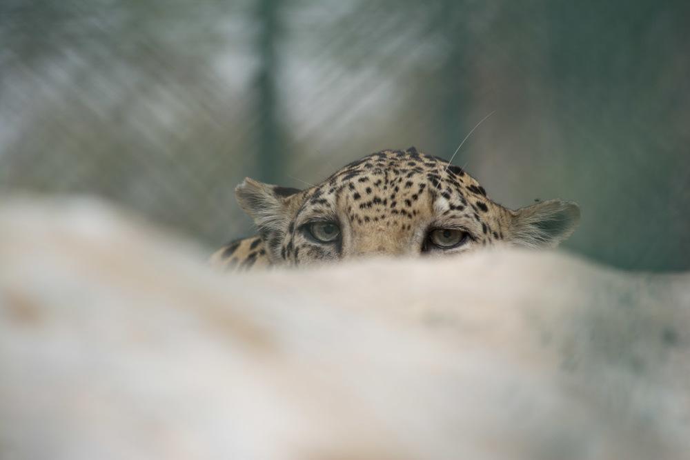 LeopardEyes-0066.jpg