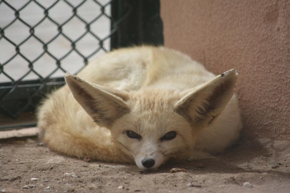 Sand Fox