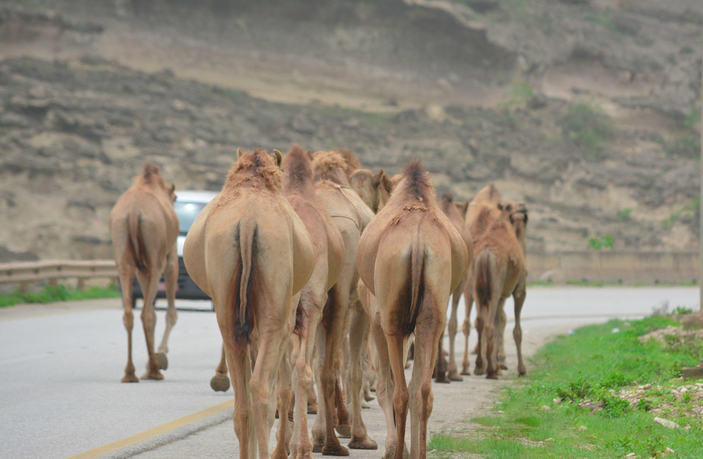 A little traffic in Southern Oman.  Literally camels and cars.