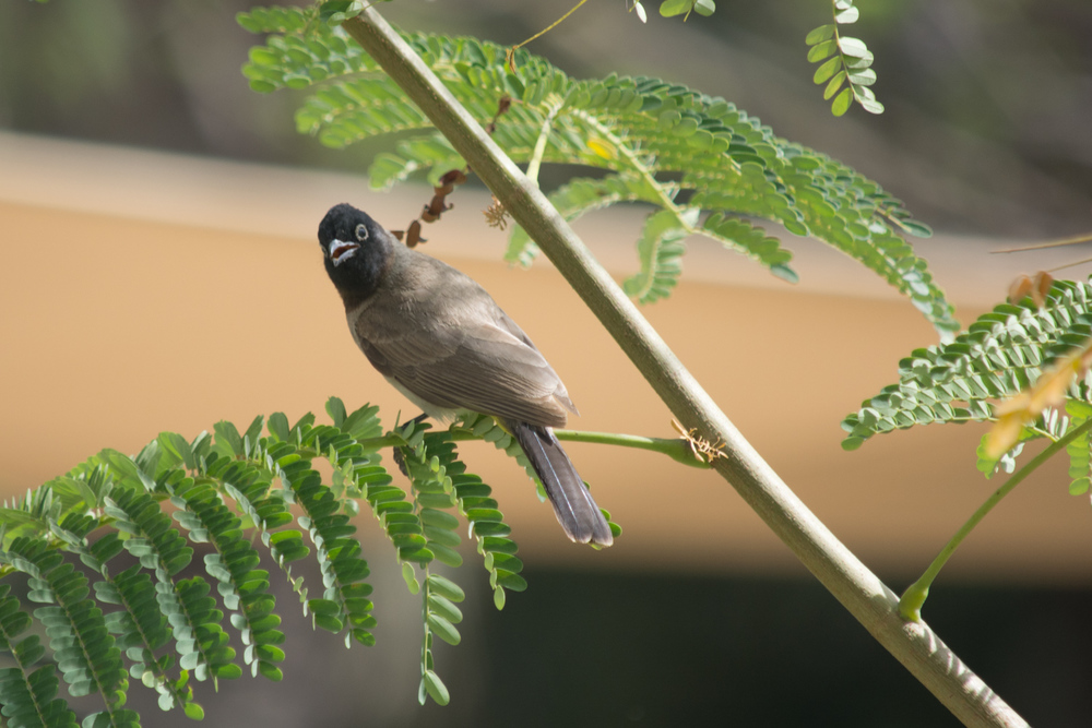 I'm sitting here with my bird book trying to sort this little guy out.  I think this is a White-spectacled Bulbul.