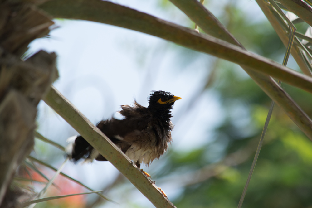 Common Myna.  Maybe the girls will like this look.