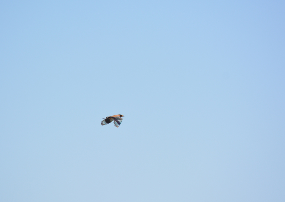 My first glimpse of an Indian Roller