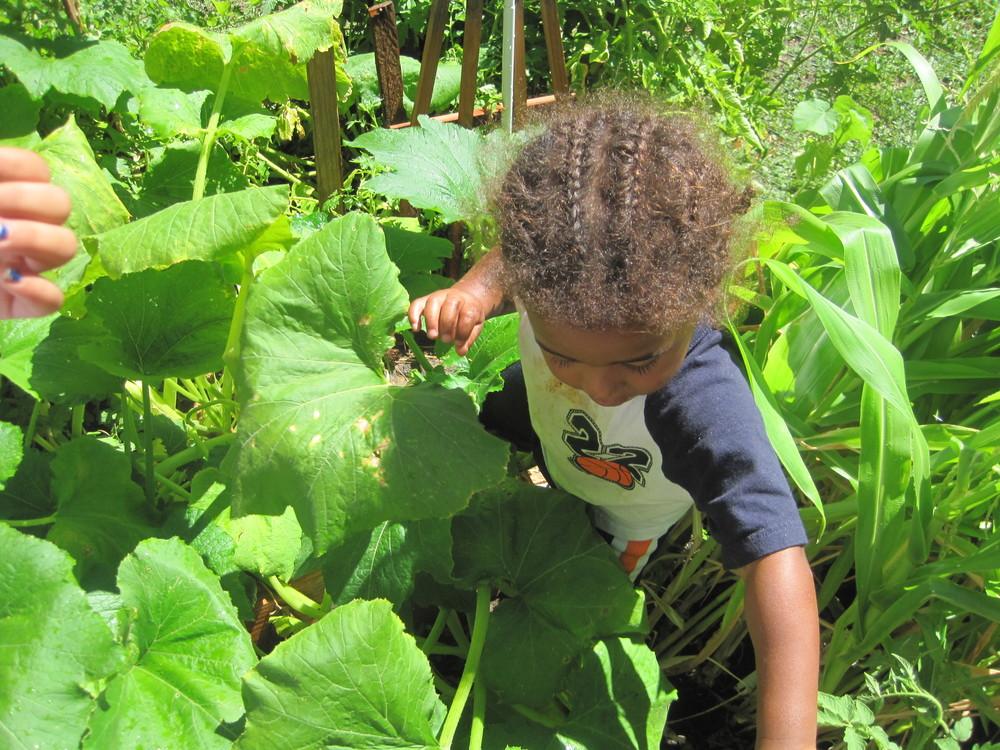 Zucchini-coosh in garden.JPG