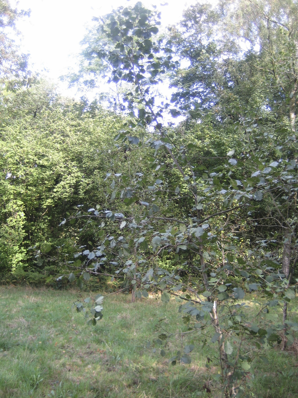 Alder Buckthorn in the summer