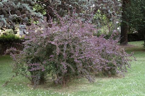 A dense shrub