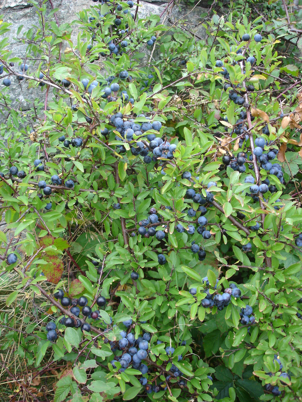 blackthorn sloes