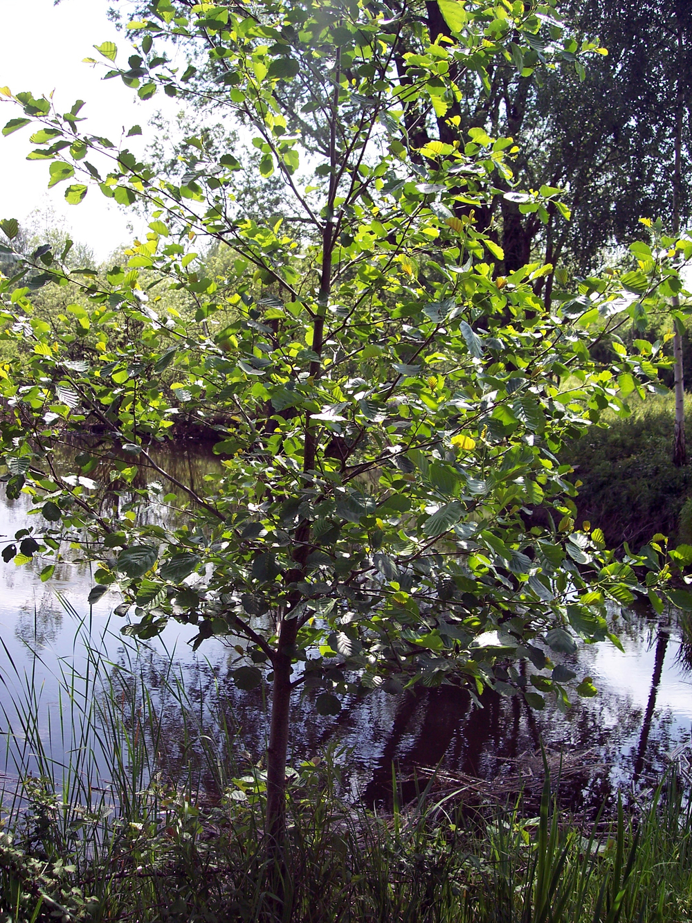 Common Alder in summer