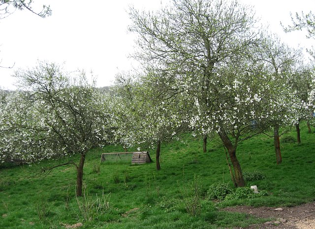 A Damson Orchard in Blossom