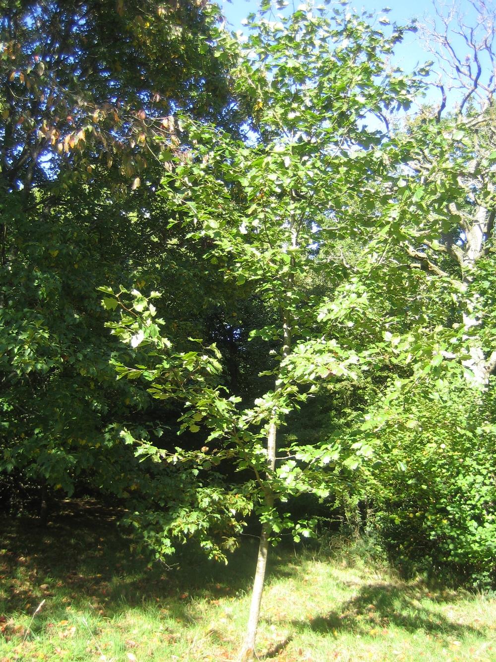 wild service tree in the autumn
