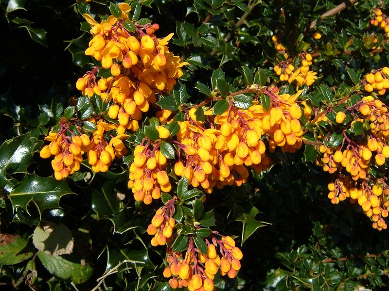 Flowers of the Berberis darwinii
