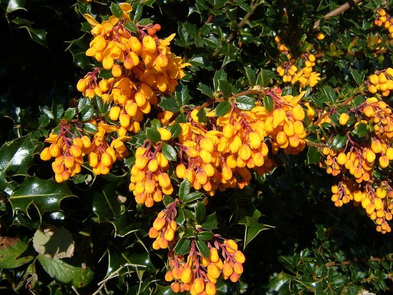 Flowers of the Berberis darwinii